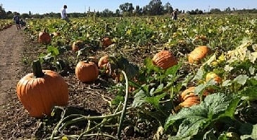 Full Grown Pumpkins in a Large Patch of Green Leaves