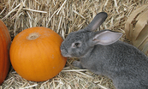 Cute Bunny with a Pumpkin at the Petting Zoo
