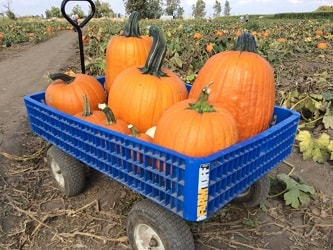 Many Large Pumpkins in a Wagon